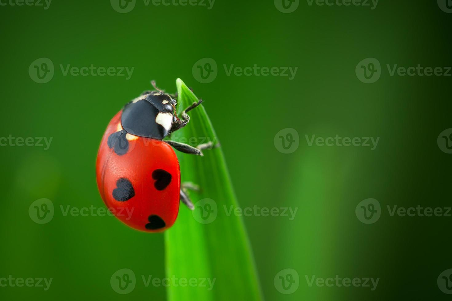 Ladybug With Hearts on Back photo
