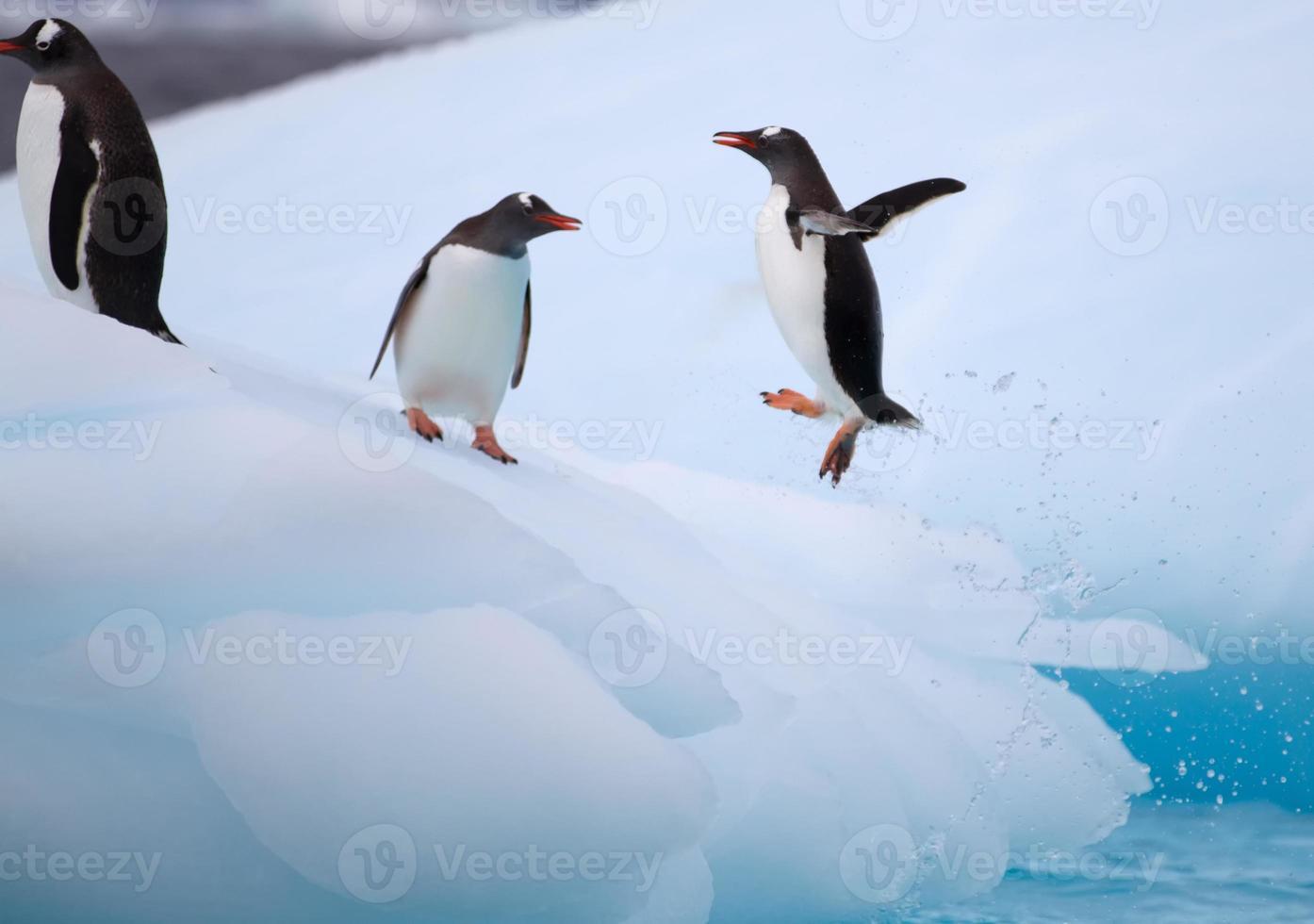 Jumping Gentoo Penguins on Iceberg photo