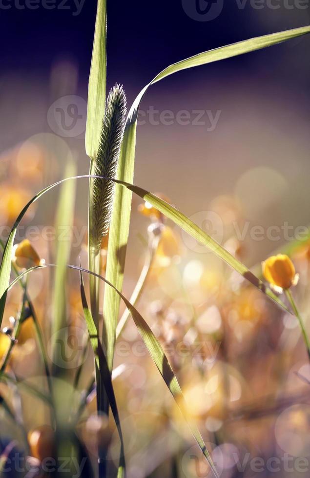 hierba salvaje - hierba de timothy foto