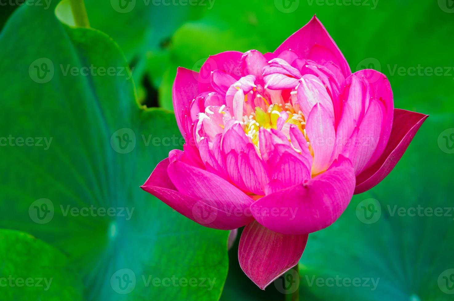 hermosas flores de loto rosa foto