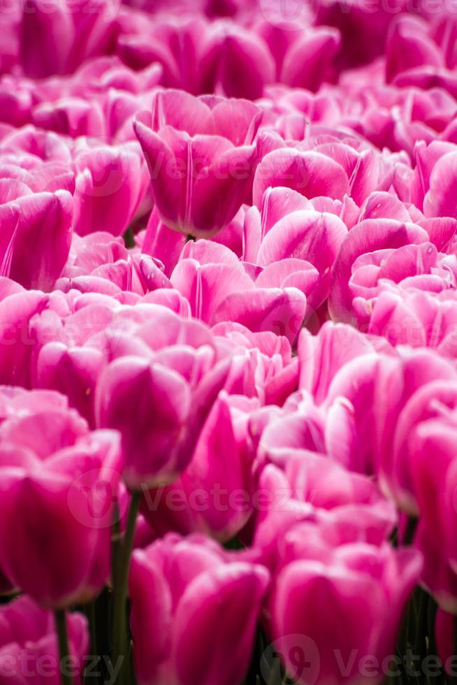 Beautiful Pink Tulips at a Green Garden of Istanbul photo