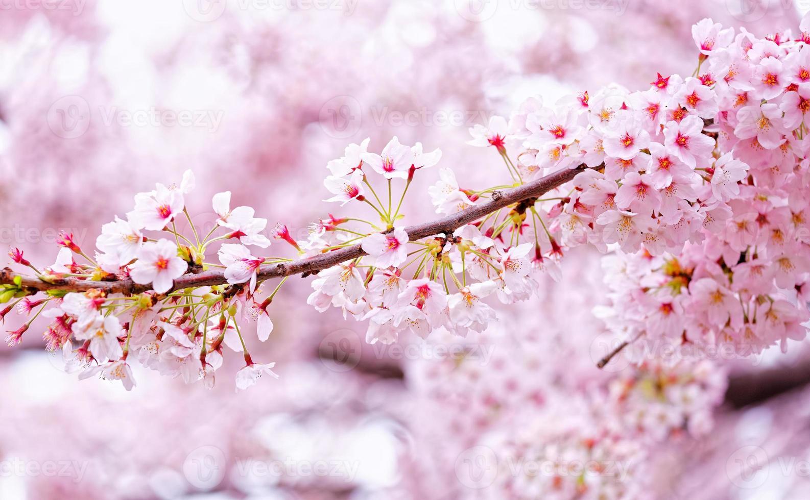 Beautiful Sakura flowers in Busan, South Korea photo