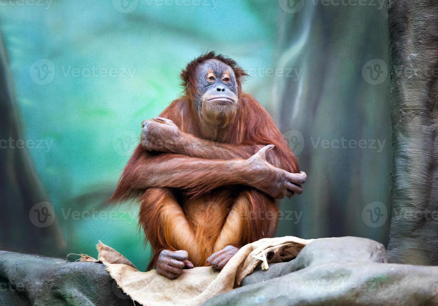 Female orangutan portrait photo