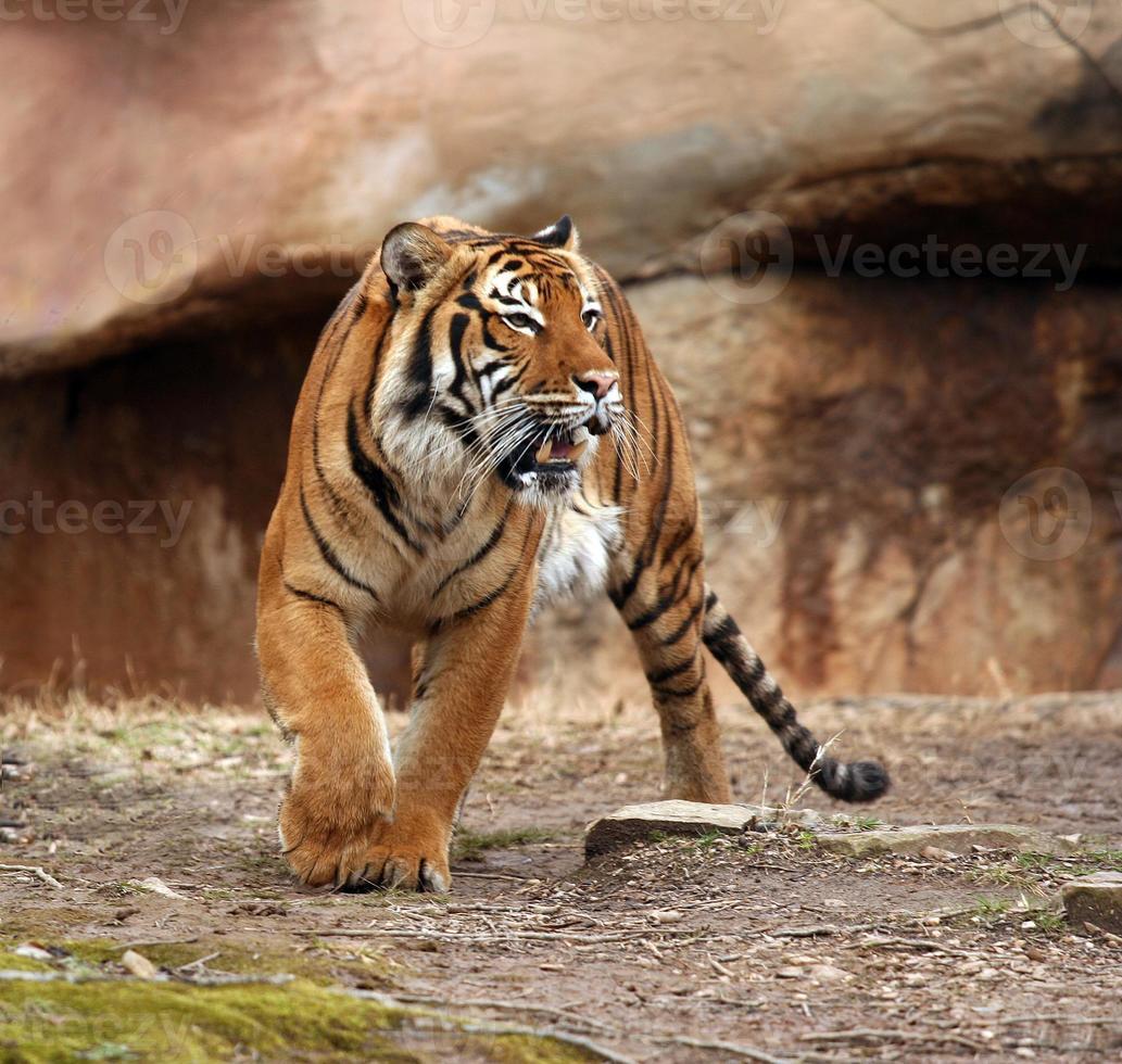 tigre enojado foto