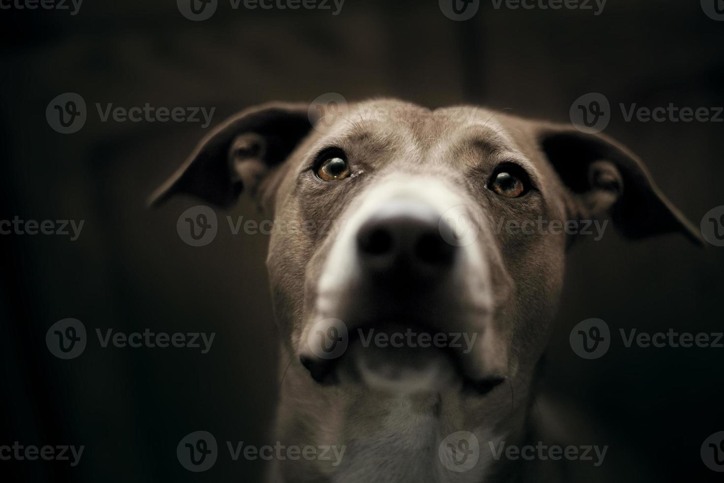 retrato de mezcla de pit bull foto