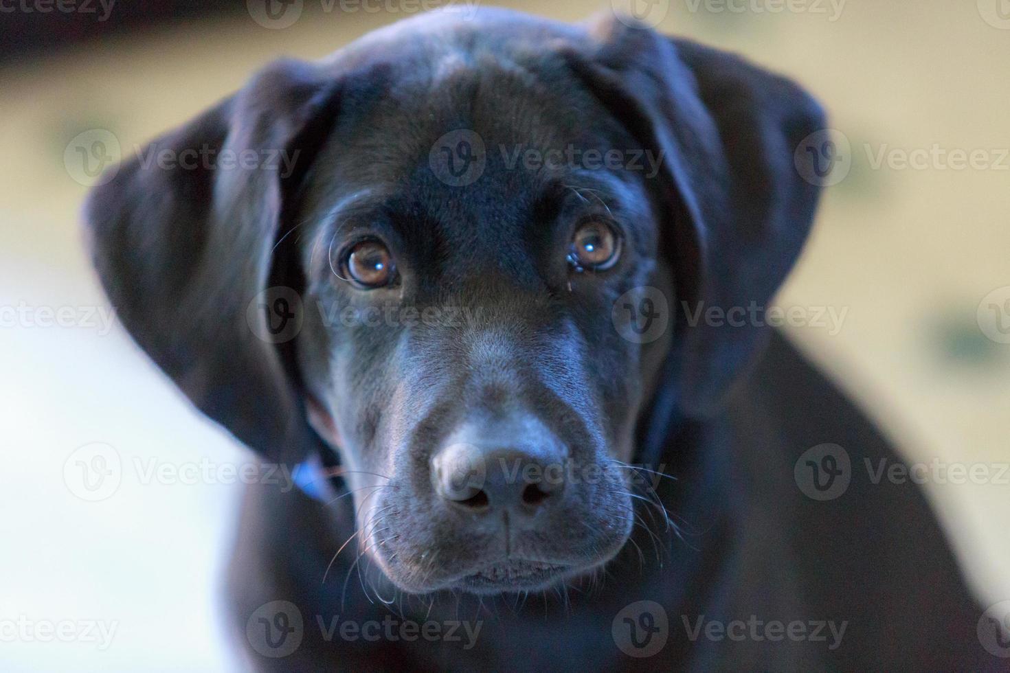 cachorro de laboratorio negro foto