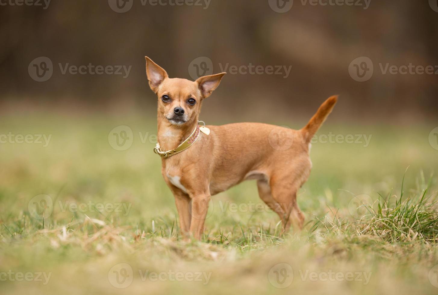 perro de raza pura foto