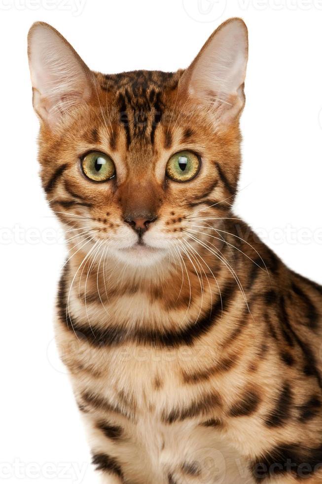Bengal cat photo