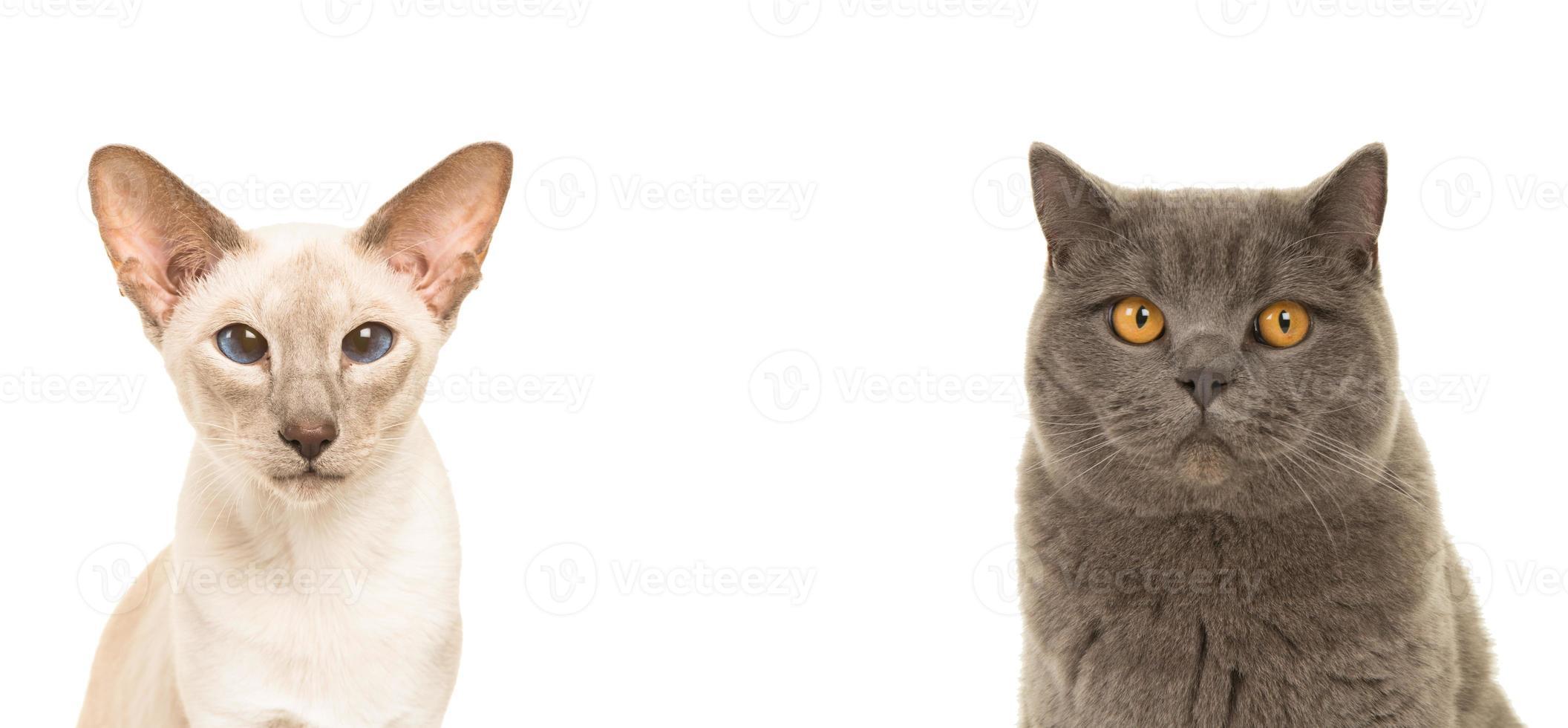 dúo retrato de gato siamés y británico de pelo corto foto