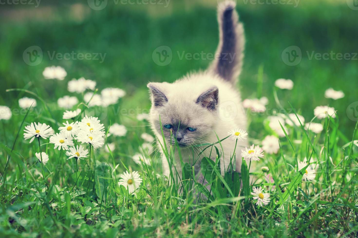 Kitten in flower lawn photo