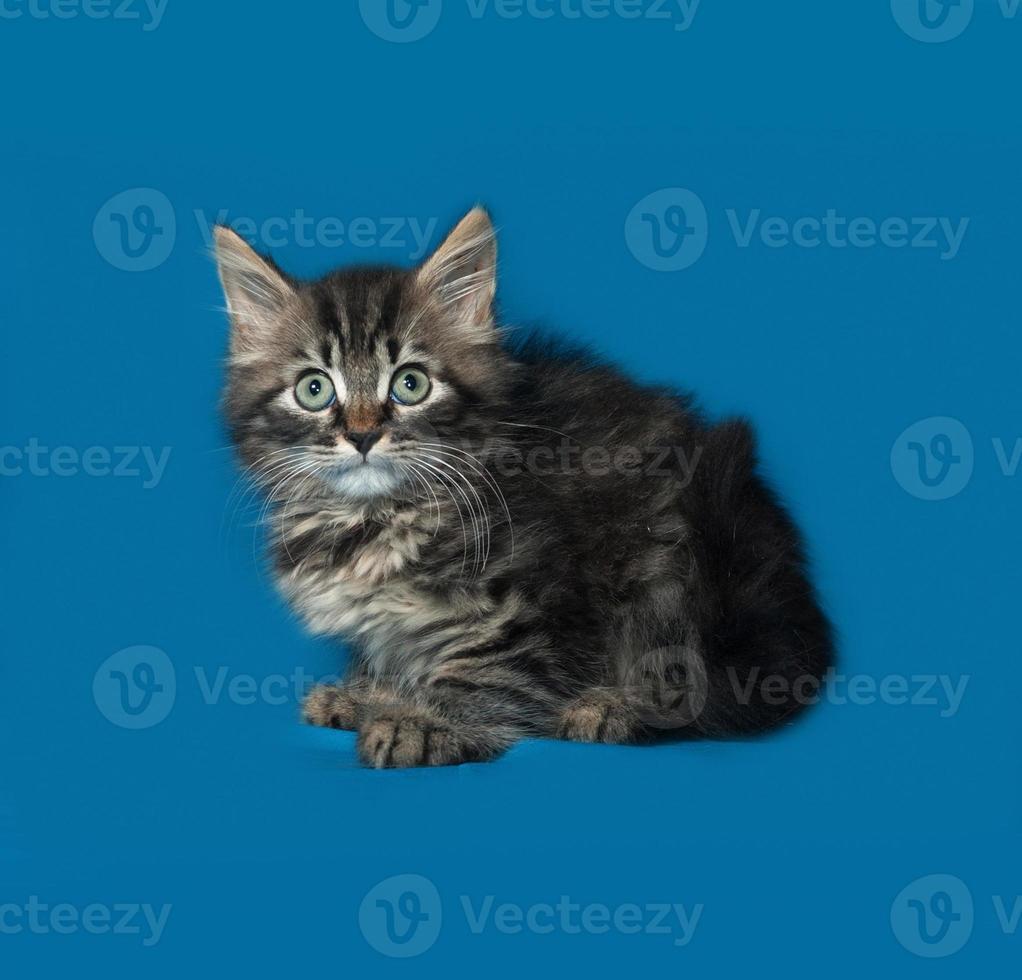 Siberian fluffy tabby kitten sitting on blue photo