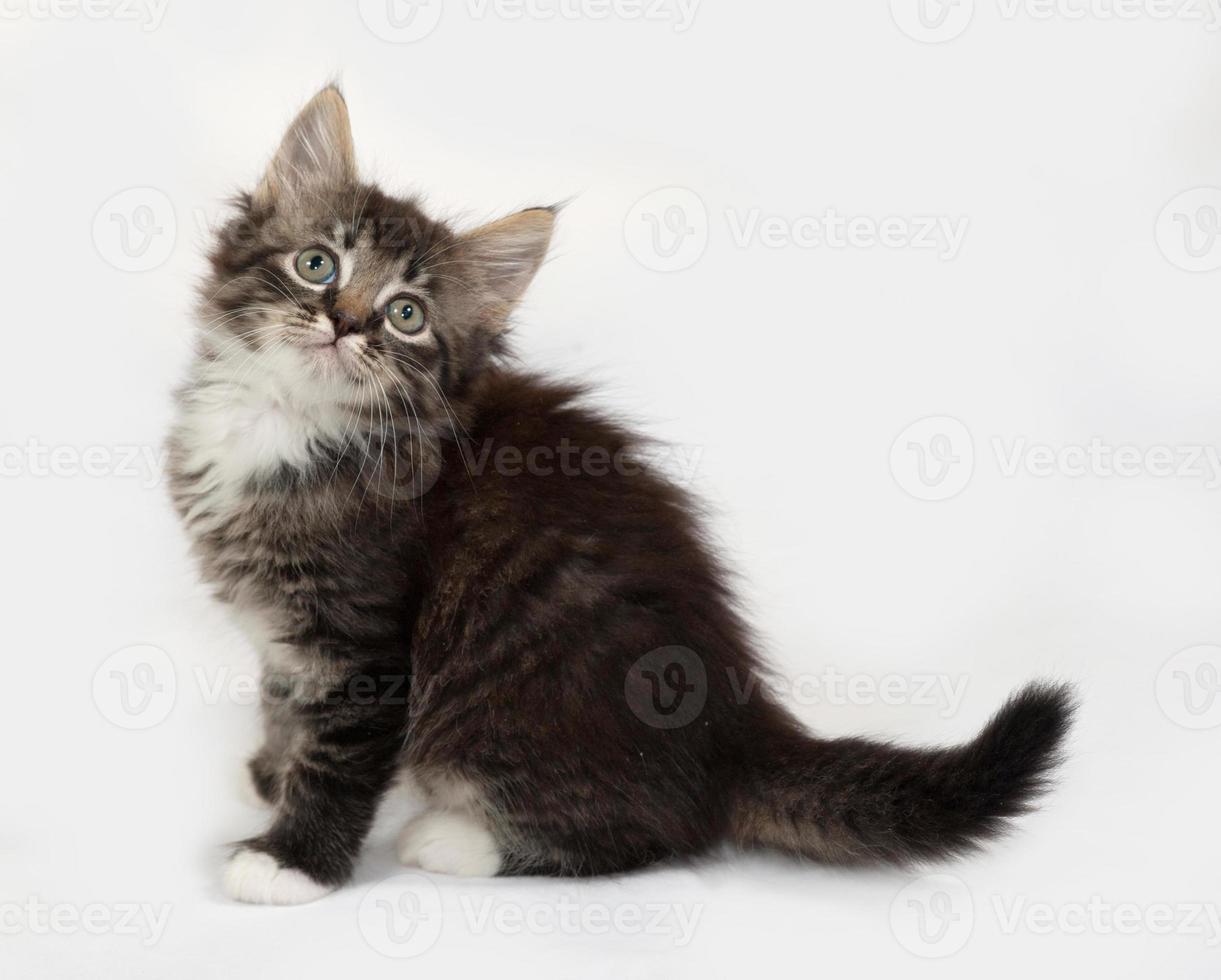 Siberian fluffy tabby and white kitten sitting on gray photo