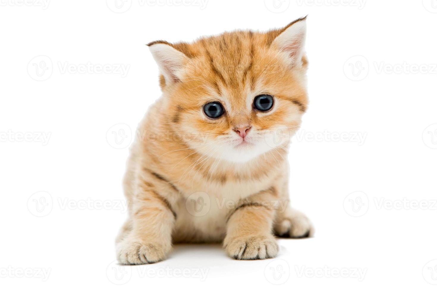 Gatito británico sobre fondo blanco. foto