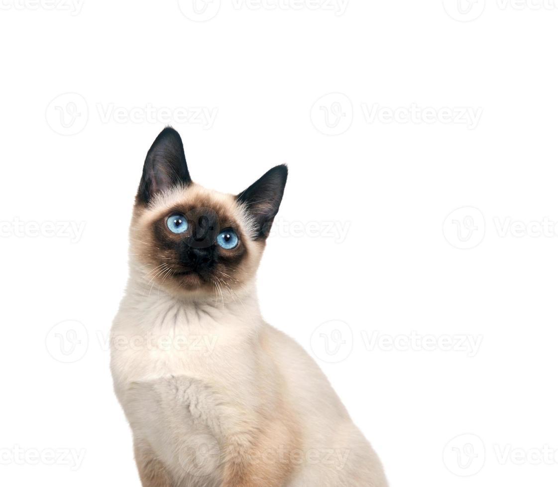gatito siamés en blanco foto