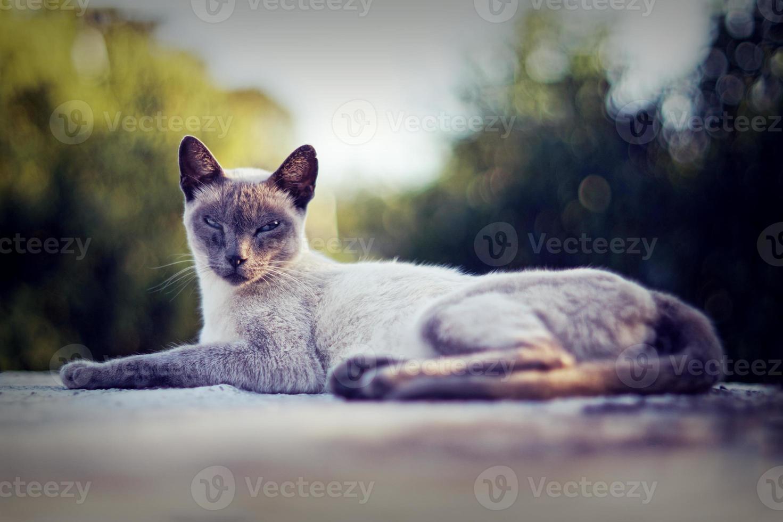 Primer plano de un gato siamés de pura raza mirando a la cámara aislada foto
