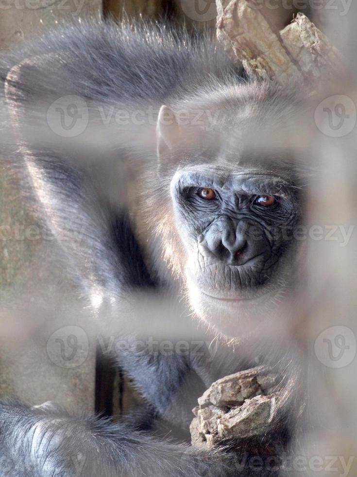 Monkey in a cage photo