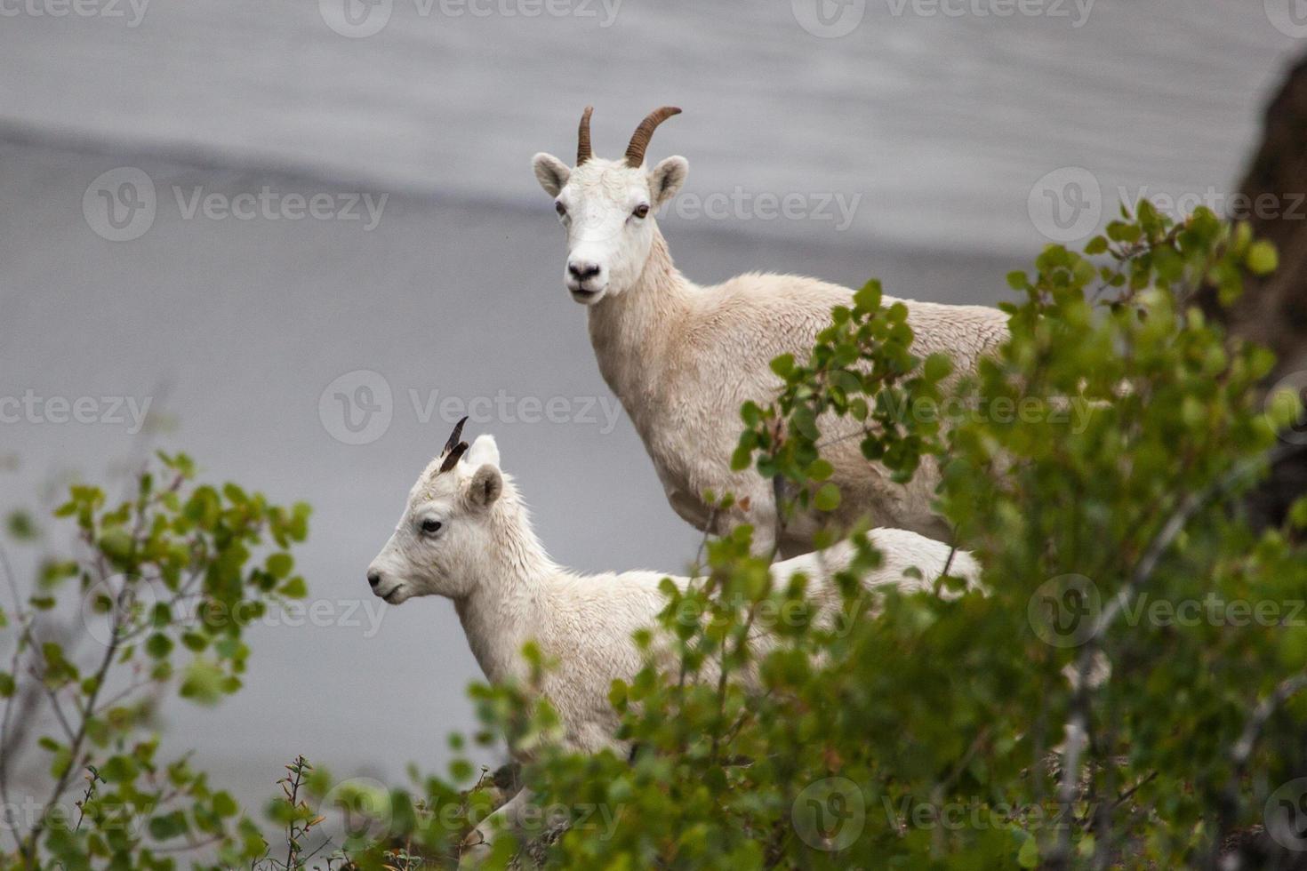 Cabra montés (oreamnos americanus) a lo largo de la autopista Seward, Alaska foto