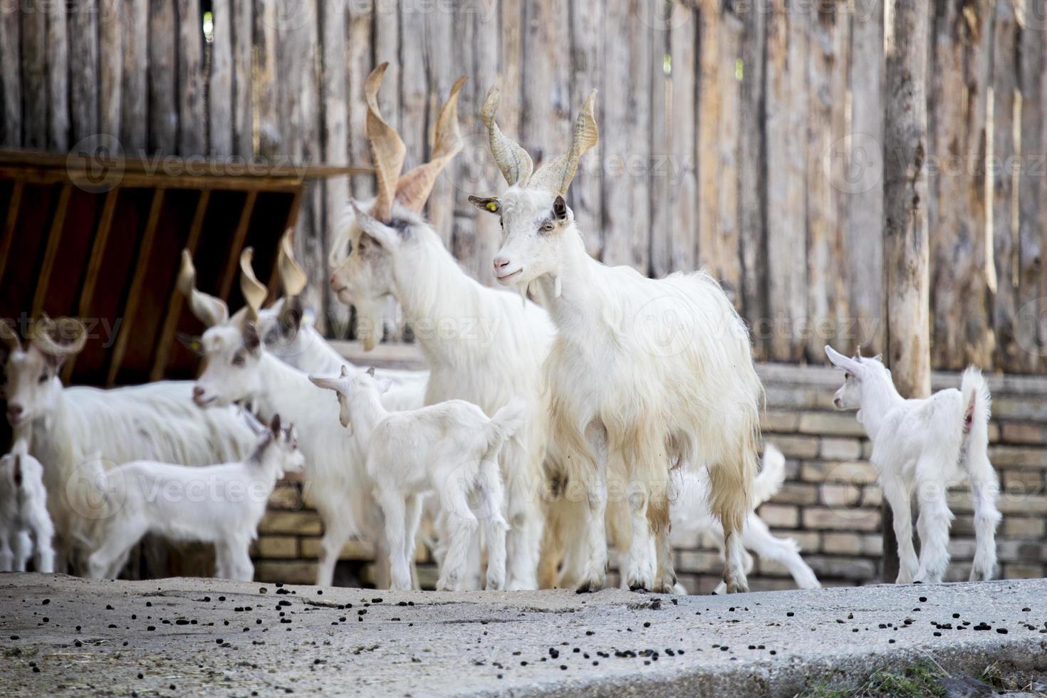 rebaño de cabras domésticas girgentana con niños foto