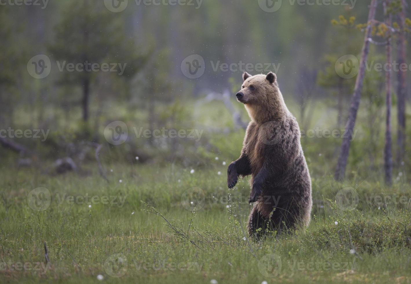 oso pardo, ursus arctos foto