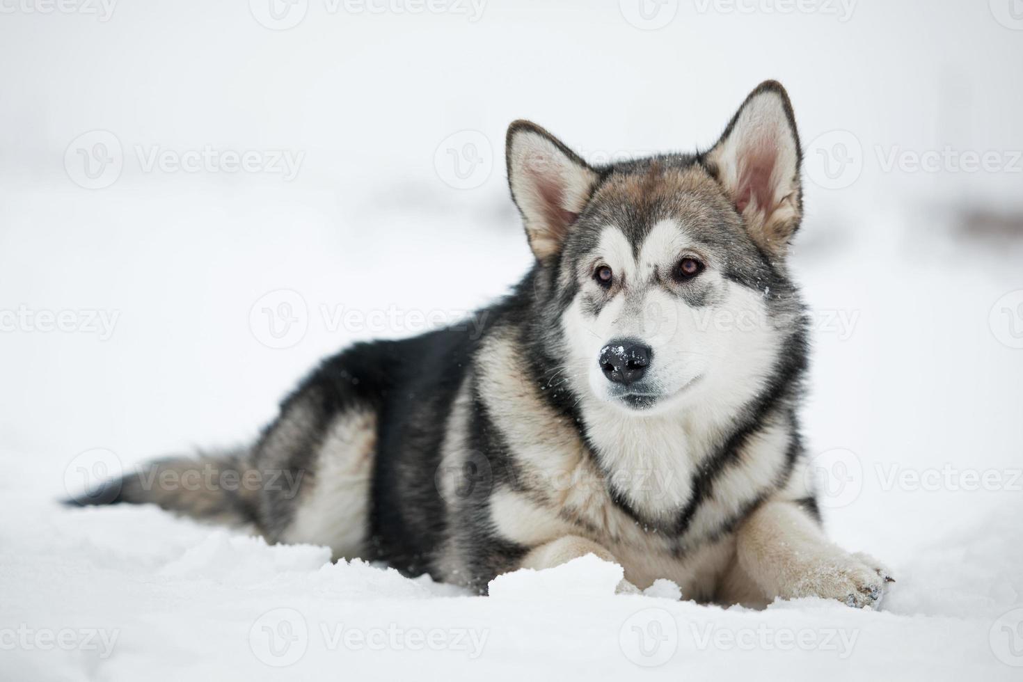 Alaskan Malamute puppy lying on the snow photo