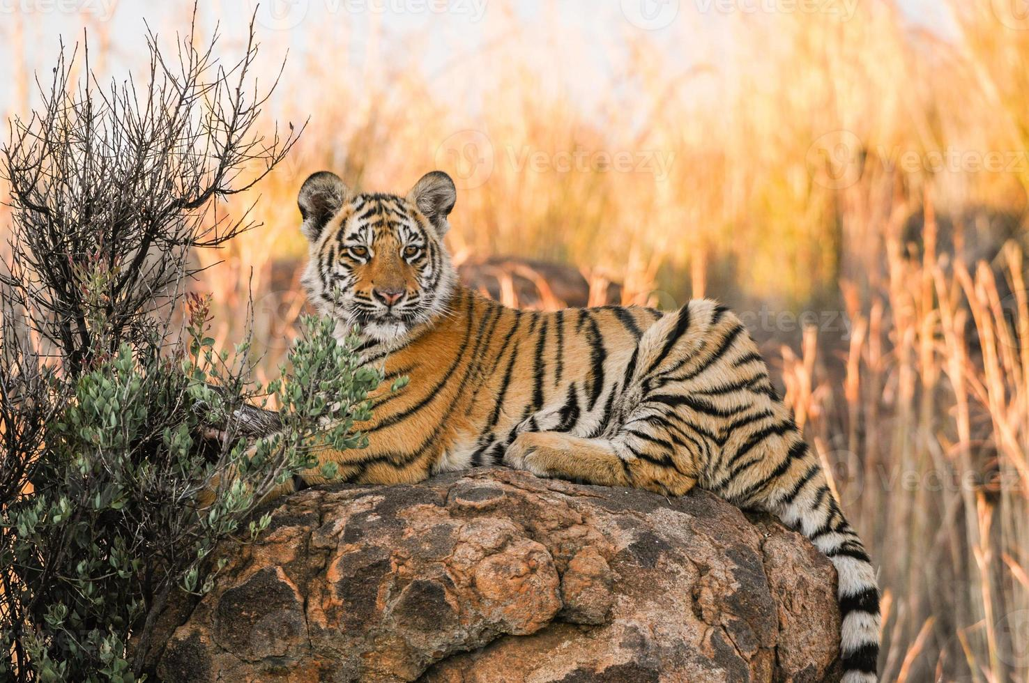 disparo de retrato de un joven tigre foto