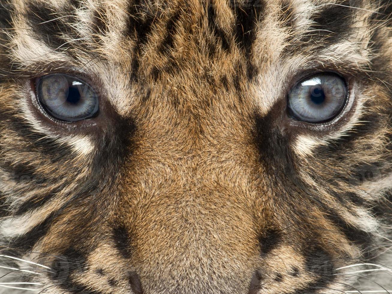 primer plano de cachorro de tigre de sumatra, panthera tigris sumatrae foto