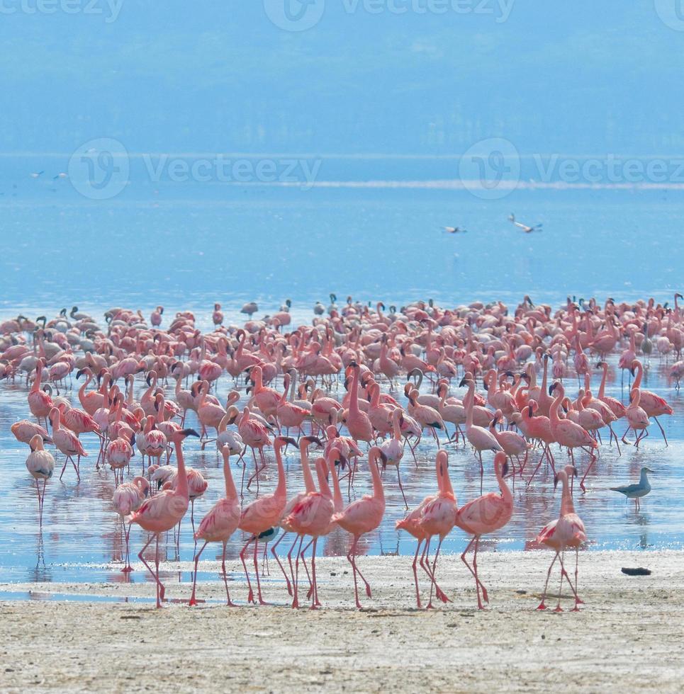bandadas de flamencos en la salida del sol, lago Nakuru, Kenia foto