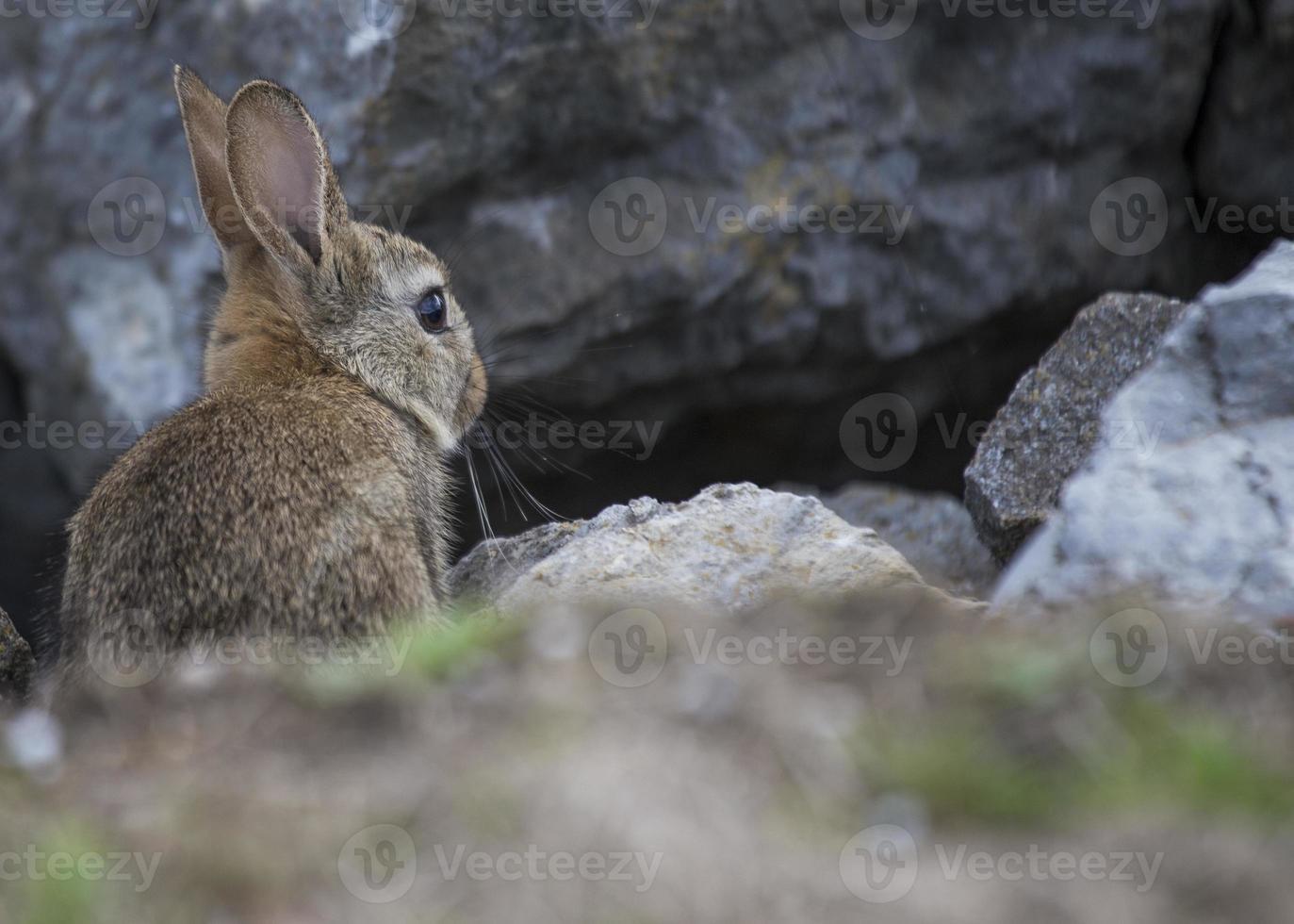 conejo entre las rocas foto