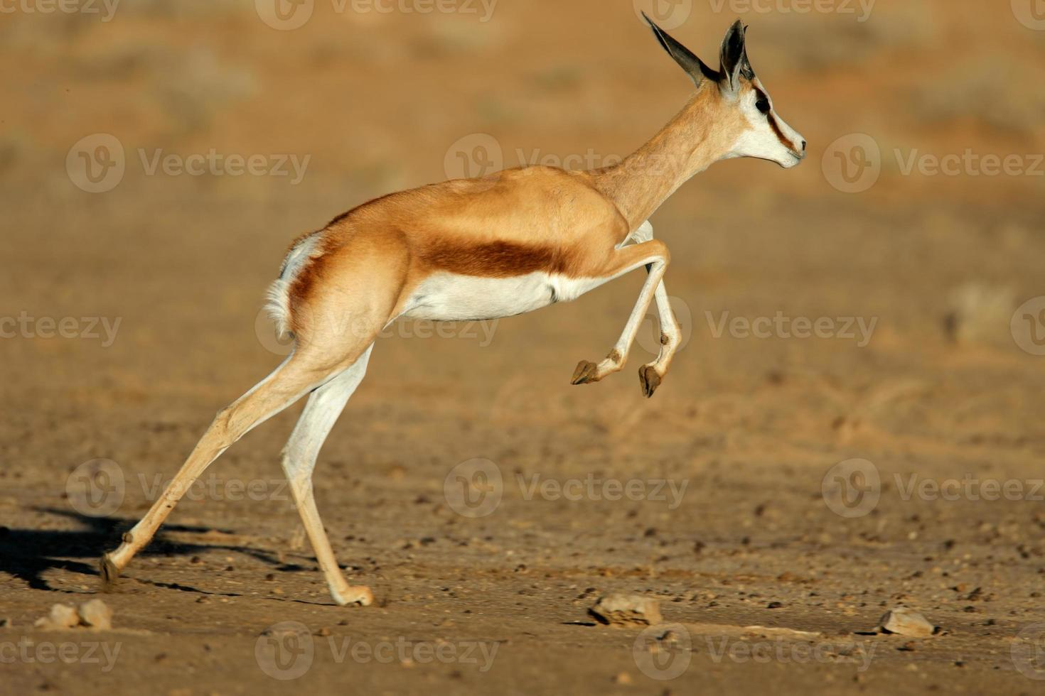 corriendo antílope springbok foto
