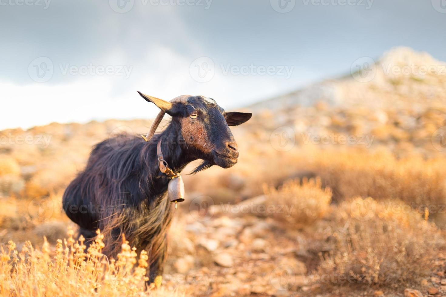 Domestic goat in mountains. photo