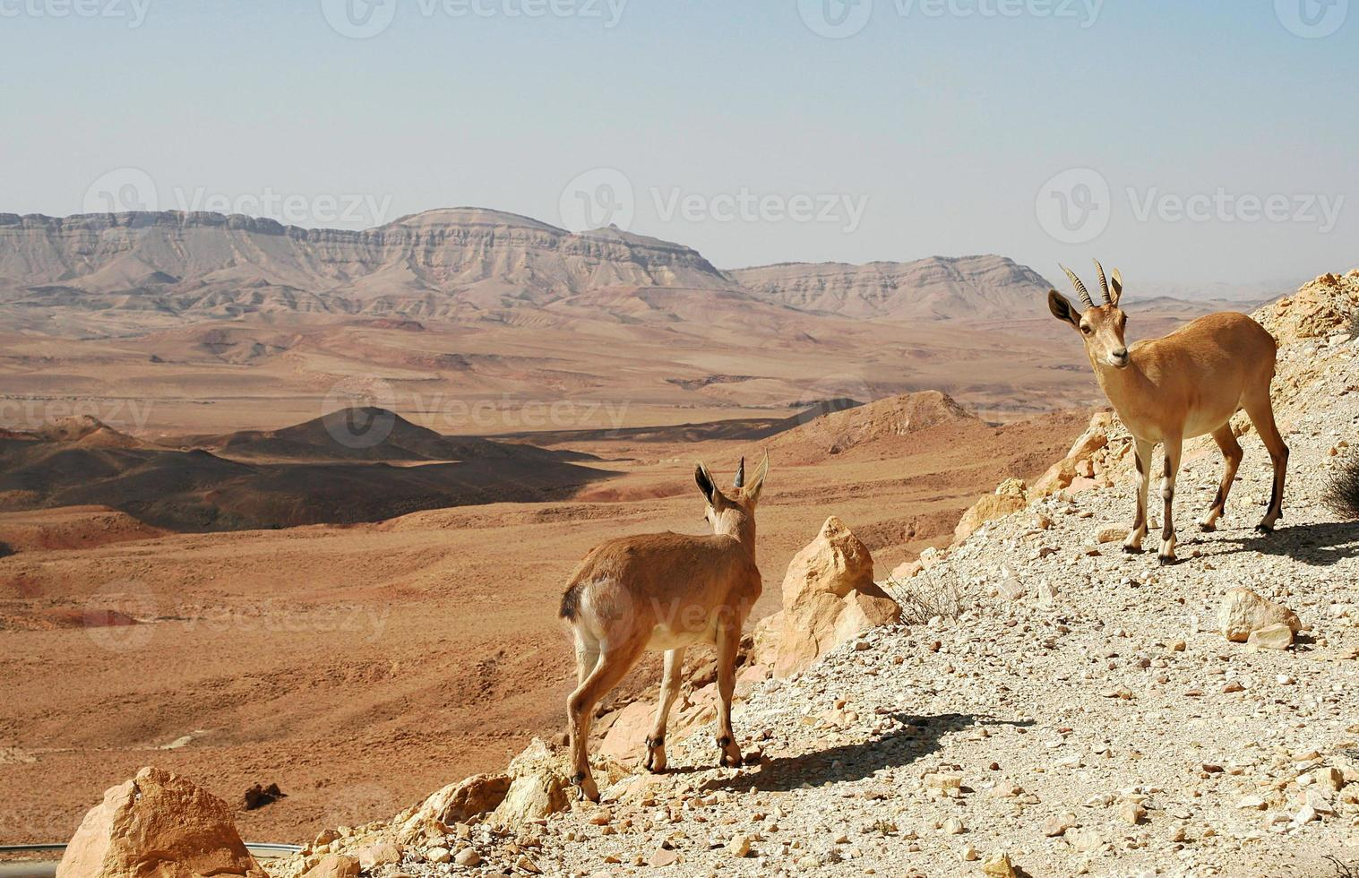 Ibexes on the cliff. photo