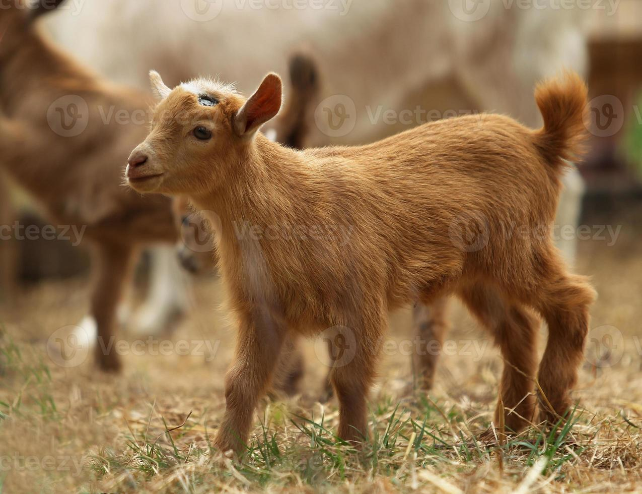Baby Goat photo