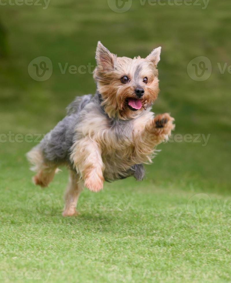 yorkshire terrier corriendo foto