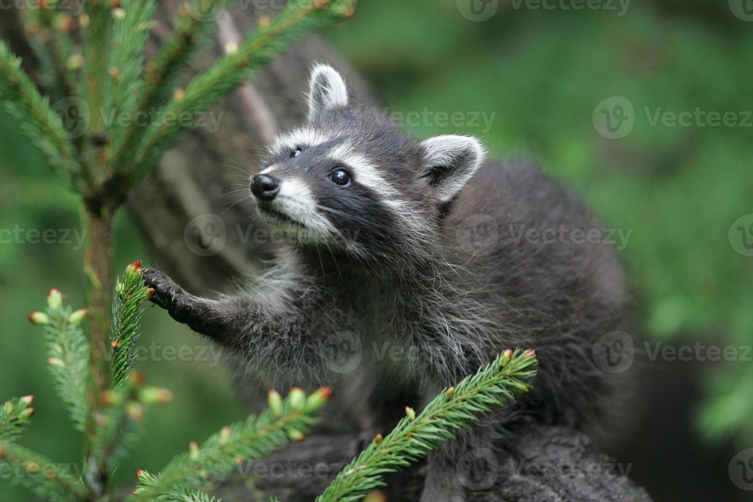 joven mapache en los árboles foto