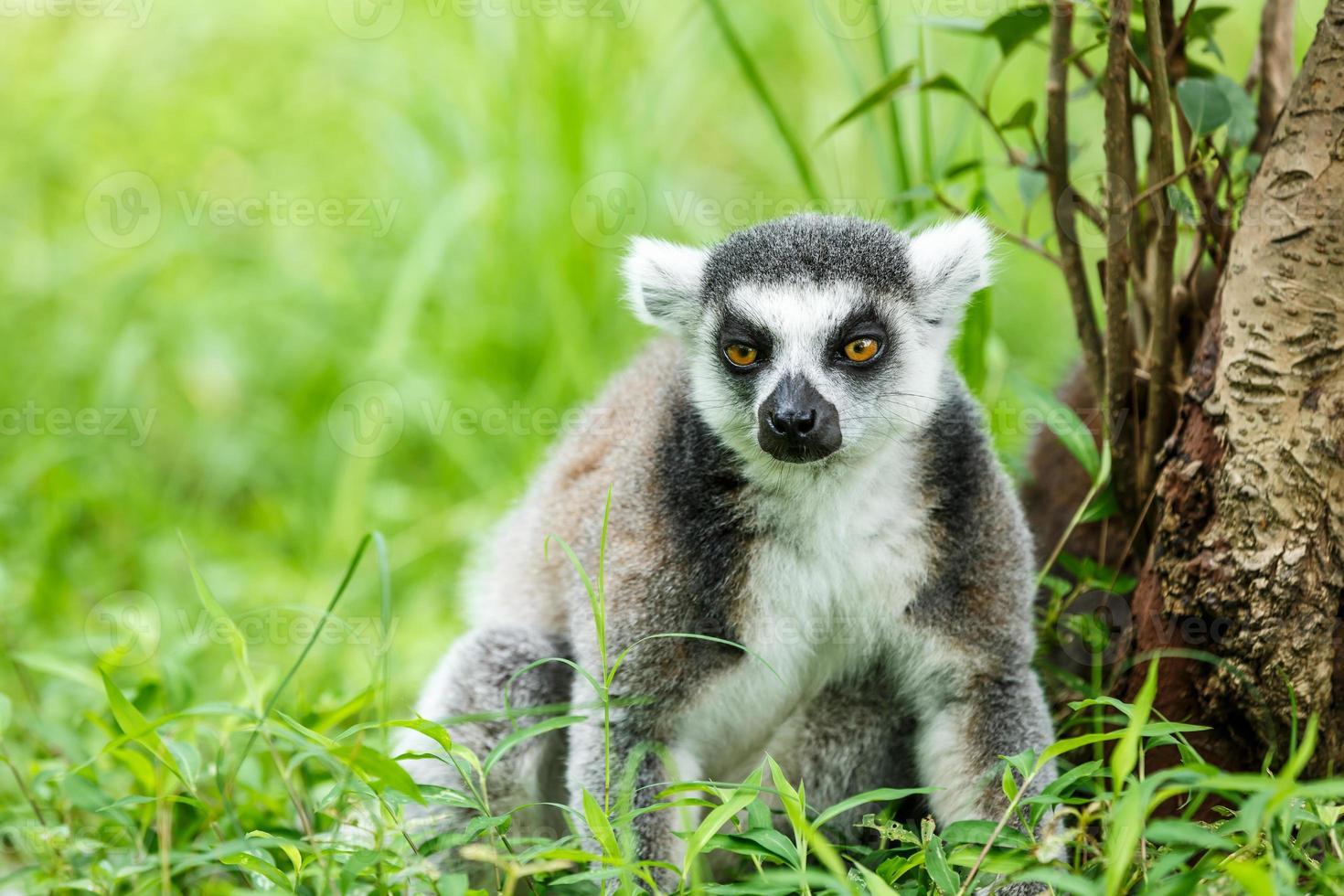 hermoso lémur de cola anillada sentado en la hierba foto