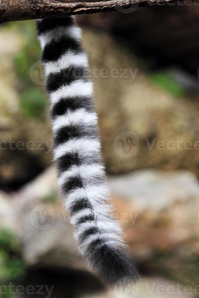 cola de catta de lémur de cola anillada foto