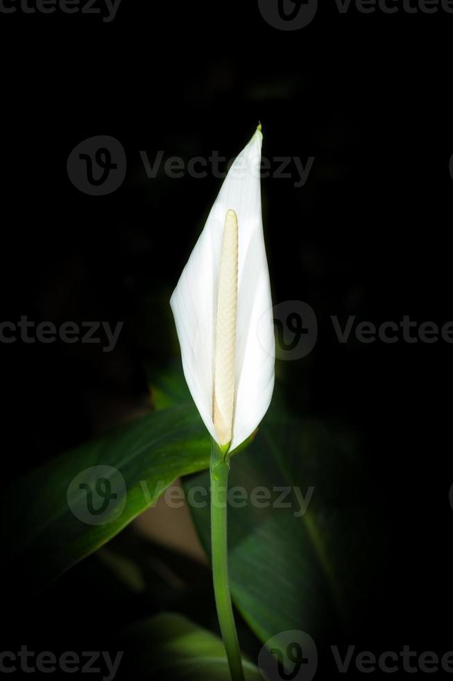 anturio blanco f foto