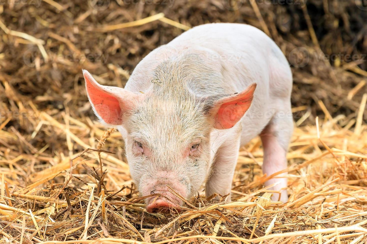 cerdo enojado foto
