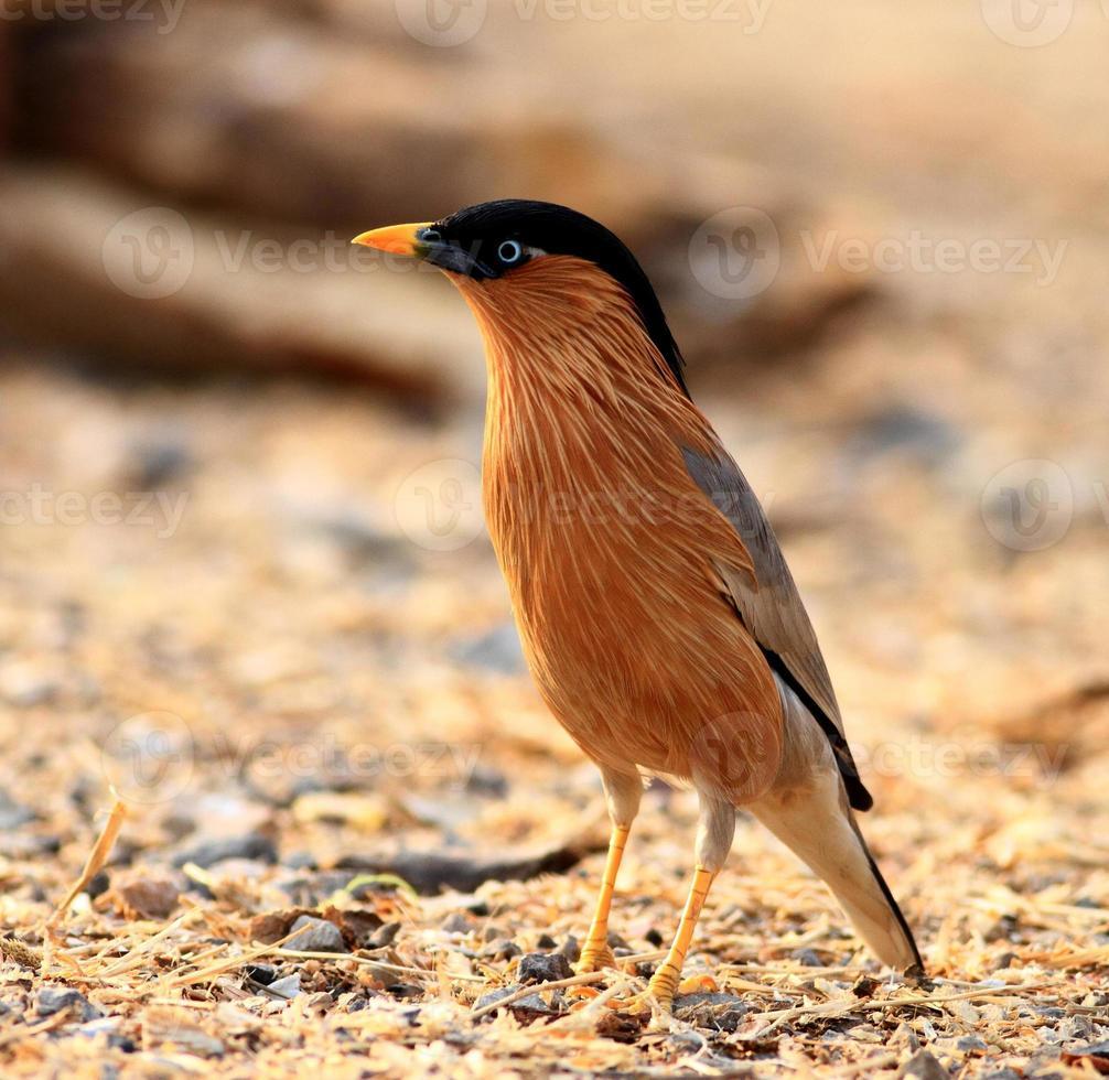 Brahminy Starling photo