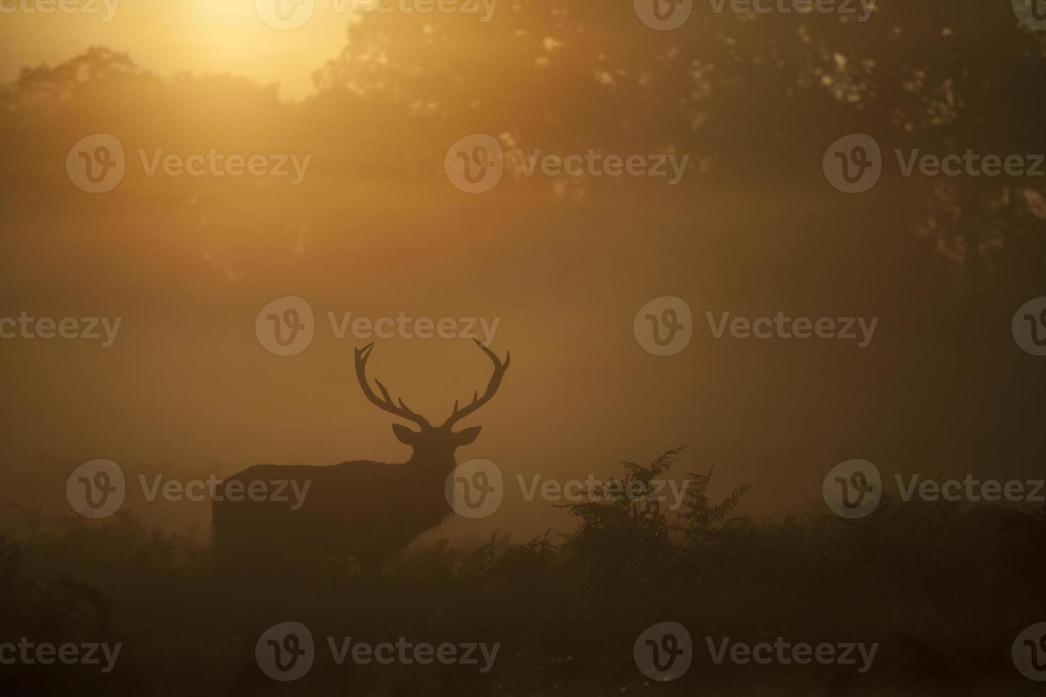 Red deer - Cervas elaphus photo