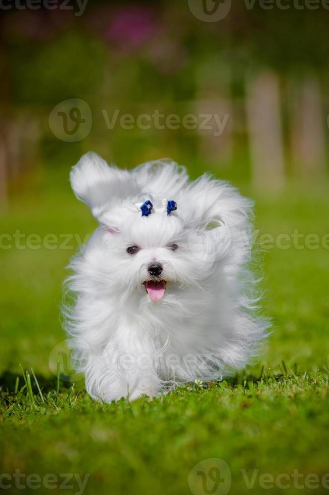 perro maltés corriendo foto