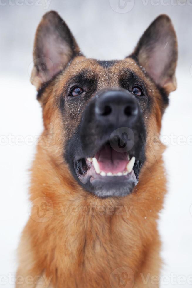 Shepherd breed dog sitting outdoors photo