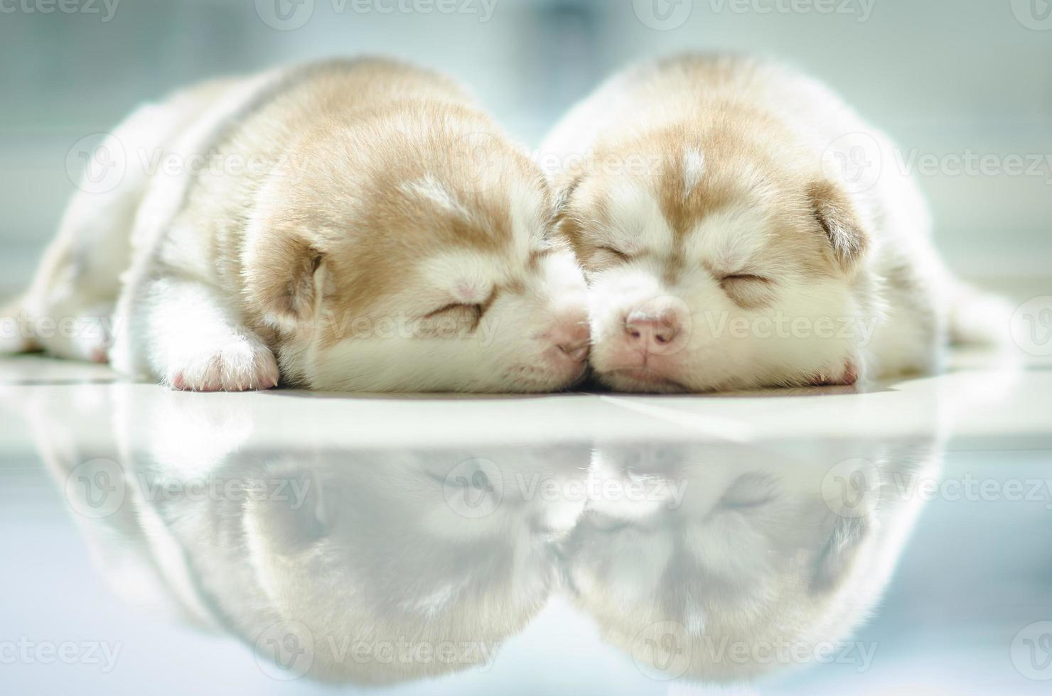 Cute puppy siberian husky  sleeping photo