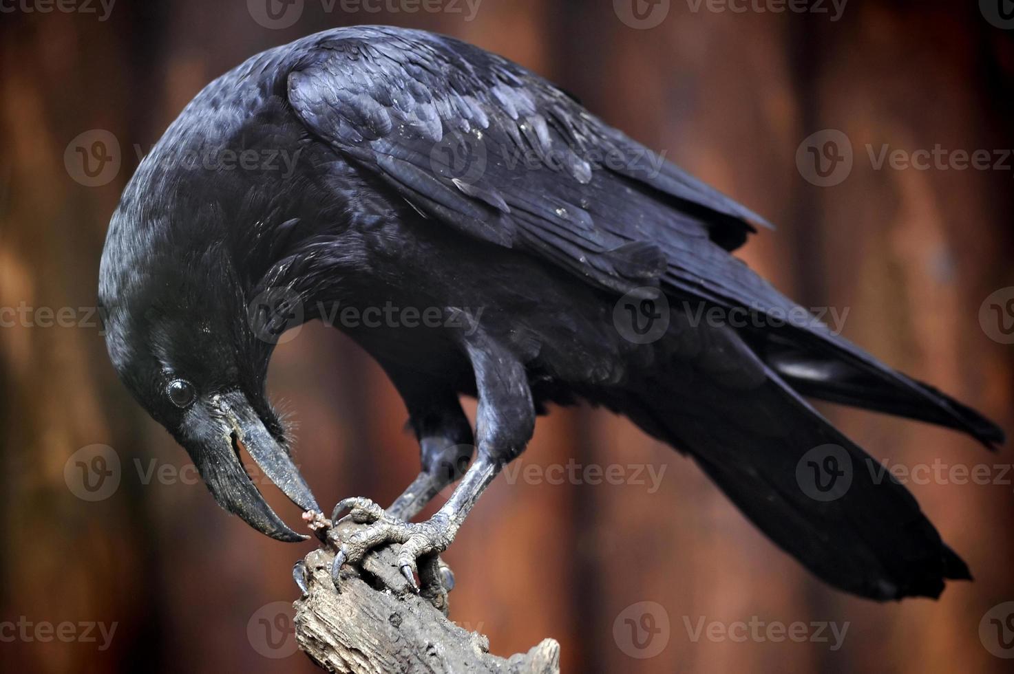 cuervo común foto