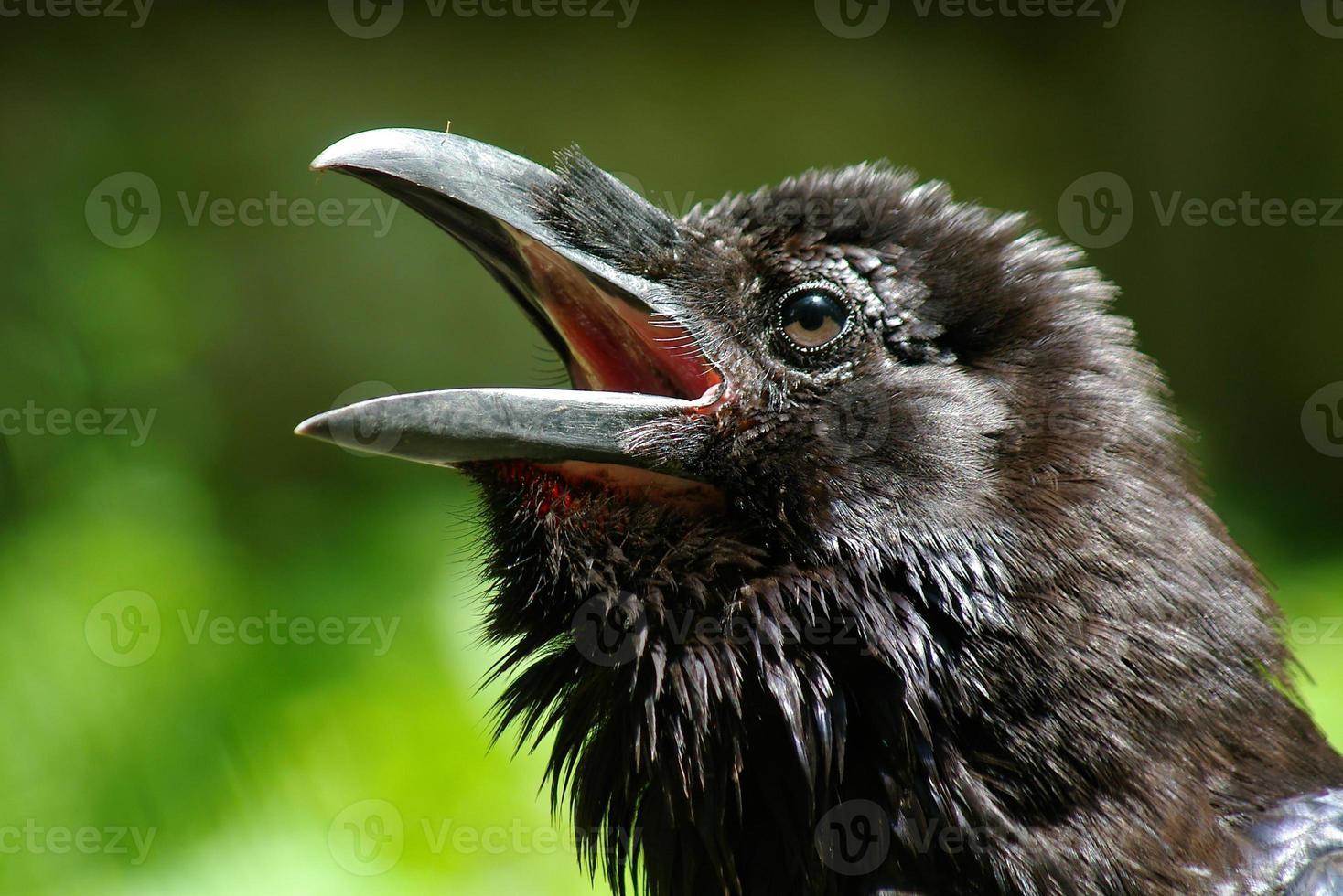 cabeza de cuervo sobre fondo verde foto