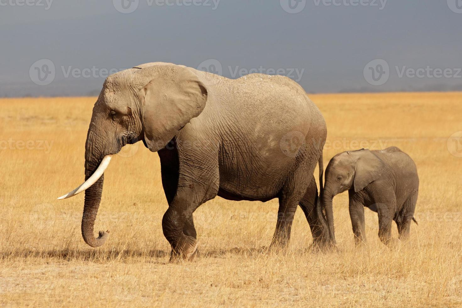 African elephant with calf photo