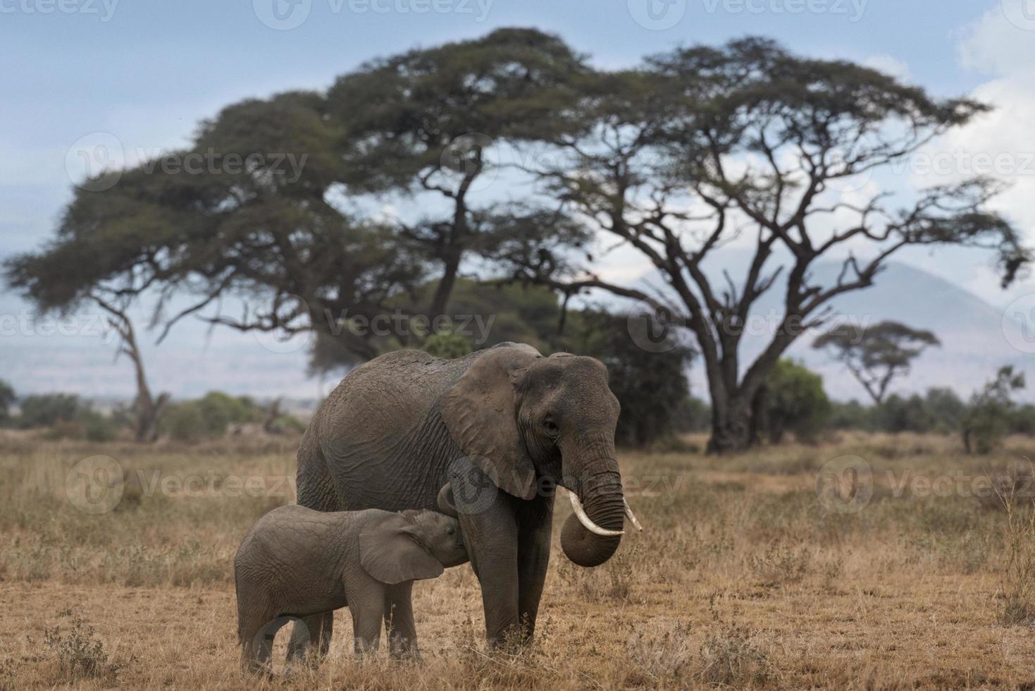 Elefante africano de monte con ternero lechal foto