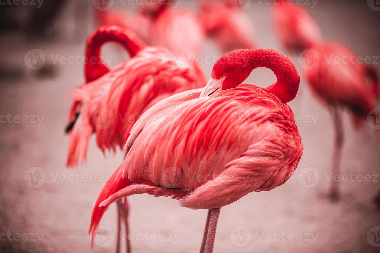 flamencos rosados contra el fondo verde foto
