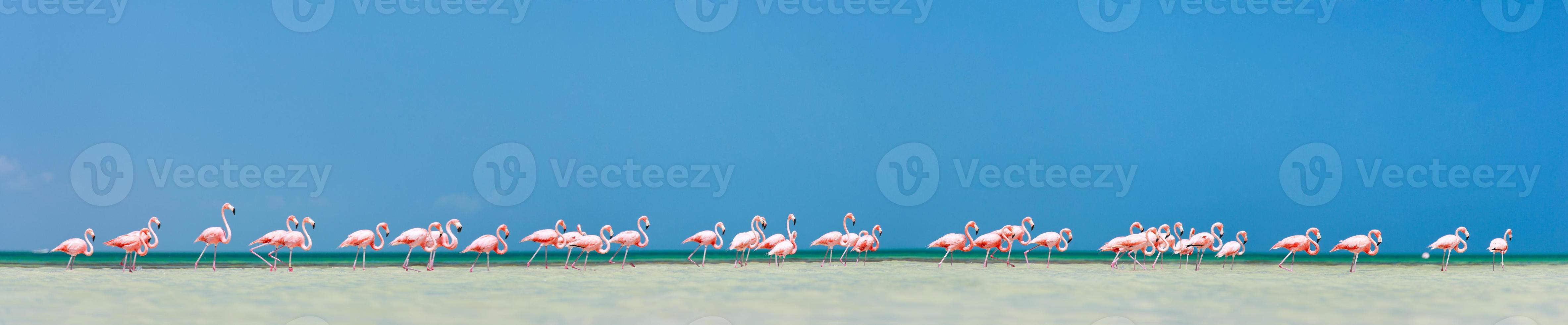 panorama de flamencos rosados foto