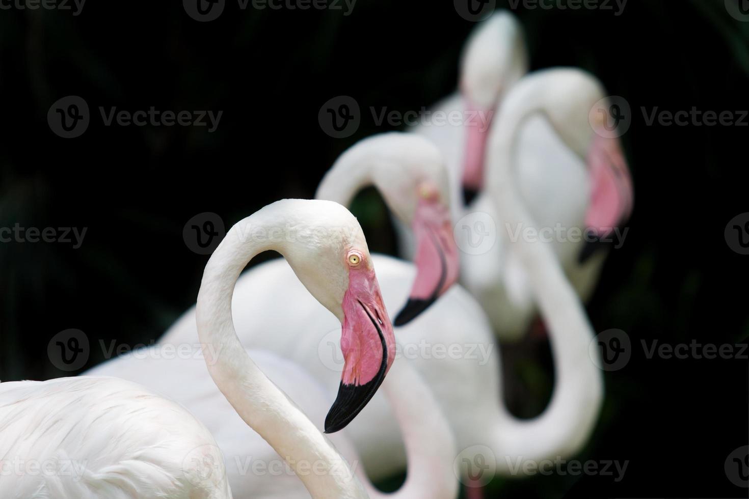 flamencos blancos foto